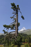 Árboles de la conífera en las montañas Imagen de archivo