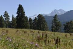 Árboles de la conífera en las montañas Foto de archivo libre de regalías