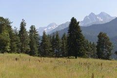 Árboles de la conífera en las montañas Imagen de archivo libre de regalías