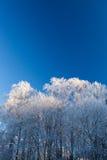 Árboles de la escarcha y cielo azul Imagen de archivo libre de regalías