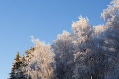 Árboles de la escarcha y cielo azul Foto de archivo