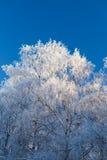 Árboles de la escarcha y cielo azul Fotografía de archivo