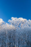 Árboles de la escarcha y cielo azul Imagenes de archivo
