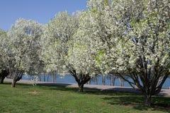 Árboles de la flor blanca en parque con la hierba verde y el La Fotografía de archivo libre de regalías