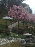 árboles de la flor de cerezo al lado de una corriente Fotografía de archivo