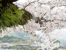 Árboles de la flor de cerezo en Japón Fotos de archivo libres de regalías