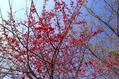 Árboles de la flor de Sakura Fotografía de archivo libre de regalías