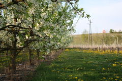 Árboles de la floración imagen de archivo