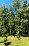 Árboles de la haya y de abedul en parque herboso del verde del verano Imagen de archivo