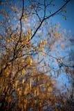 Árboles de la hoja con el cielo azul Imágenes de archivo libres de regalías