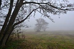 Árboles de la lezna en la niebla. Fotos de archivo