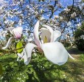 Árboles de la magnolia debajo del cielo azul Fotografía de archivo