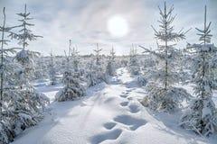 Árboles de la Navidad y del Año Nuevo cubiertos con nieve en bosque del invierno Fotos de archivo libres de regalías