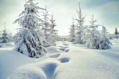 Árboles de la Navidad y del Año Nuevo cubiertos con nieve en bosque del invierno Imágenes de archivo libres de regalías