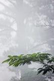 Árboles de la niebla, de la mimosa y de pino Fotos de archivo