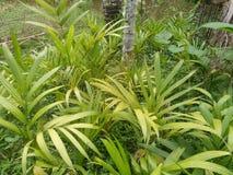 Árboles de la nuez de betel foto de archivo