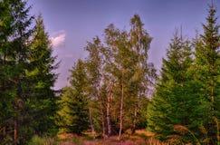 Árboles de la picea y de abedul en el bosque en la luz del día, luz del sol, cielo azul Imagen de archivo