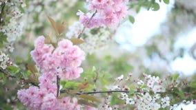Árboles de la primavera en la plena floración almacen de metraje de vídeo