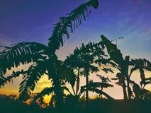 Árboles de la puesta del sol y de plátano fotos de archivo