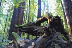Árboles de la raíz Fotos de archivo libres de regalías