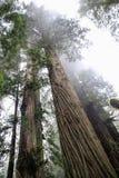 Árboles de la secoya Imagenes de archivo