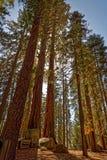 Árboles de la secoya en Yosemite fotos de archivo