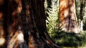Árboles de la secoya gigante metrajes
