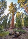 Árboles de la secoya gigante Fotografía de archivo