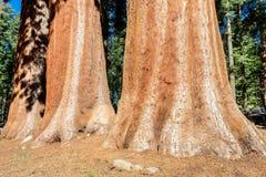 Árboles de la secoya gigante en parque nacional de secoya Foto de archivo