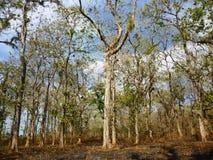 árboles de la teca Imagenes de archivo