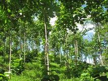 Árboles de la teca en un bosque agrícola, Costa Rica Imagenes de archivo