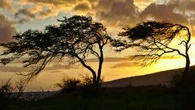 árboles de la Viento-encorvadura en Maui durante puesta del sol fotos de archivo