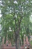 Árboles de la yarda del campus de Harvard del estado de Cambridge Massachusettes de los E.E.U.U. Foto de archivo libre de regalías