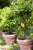 Árboles de limón Potted fotos de archivo libres de regalías