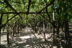 Árboles de limón de Sorrento con la fruta Imagen de archivo libre de regalías