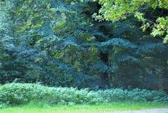 Árboles de los azules en Savernake fotografía de archivo