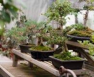 Árboles de los bonsais Fotos de archivo libres de regalías
