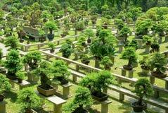 Árboles de los bonsais Imagen de archivo libre de regalías