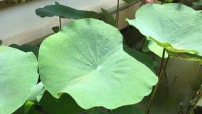 Árboles de Lotus en jardín metrajes