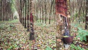 Árboles de madera de Para en Tailandia Fotos de archivo