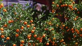 Árboles de mandarín en las hojas de las sacudidas del viento del mercado callejero en la luz del sol almacen de metraje de vídeo
