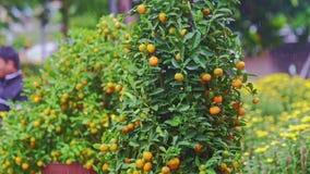 Árboles de mandarín en soporte del mercado callejero debajo de la lluvia tropical metrajes