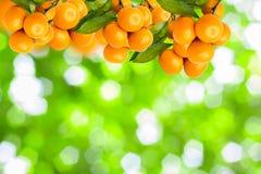 árboles de mandarina Foto de archivo libre de regalías