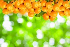 árboles de mandarina Fotografía de archivo