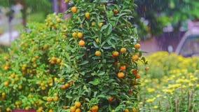 Árboles de mandarina en soporte del mercado callejero debajo de la lluvia tropical almacen de metraje de vídeo