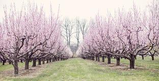 Árboles de melocotón Fotografía de archivo libre de regalías