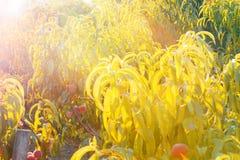 Árboles de melocotón con la fruta madura en ramas en la puesta del sol imagen de archivo