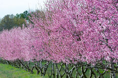 Árboles de melocotón en la floración Imagen de archivo