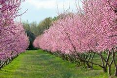 Árboles de melocotón en la floración Imágenes de archivo libres de regalías