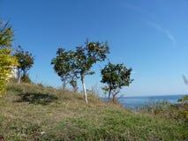 Árboles de membrillo en la costa Imagen de archivo